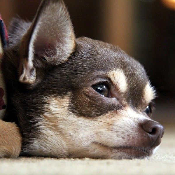 Can Dogs Cry And What Exactly Is Dog Crying Chihuahua Dogs