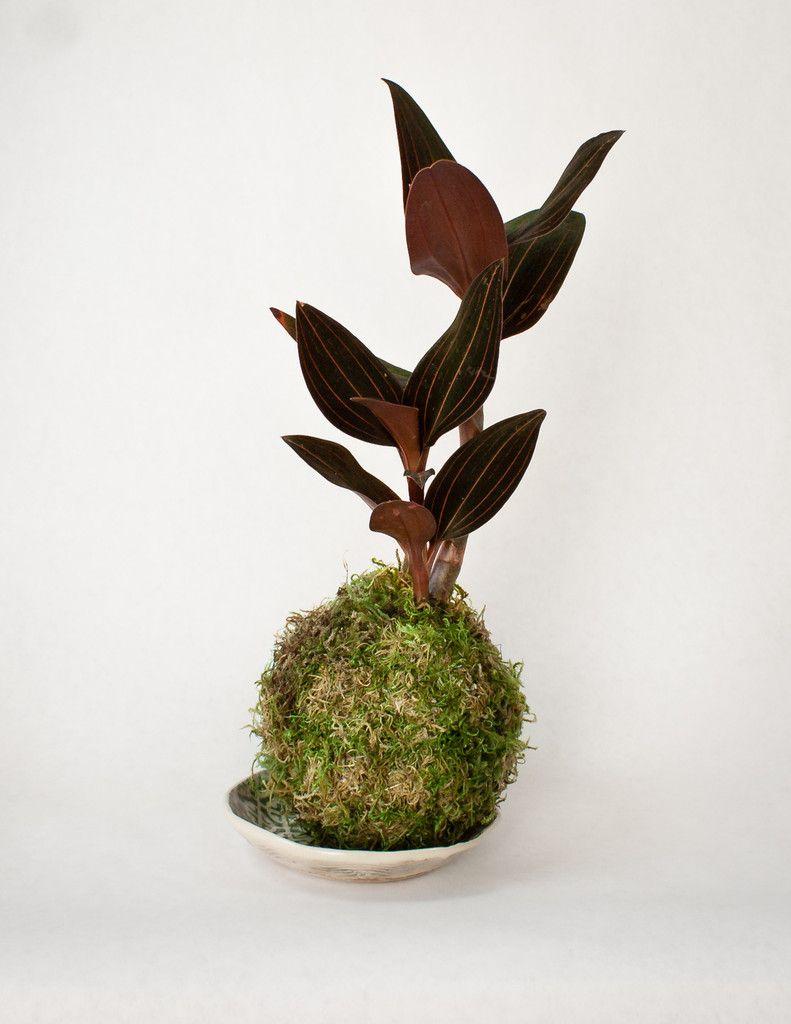 Jewel Orchid Kokedama String Garden Ceramic Dish Pistils Nursery