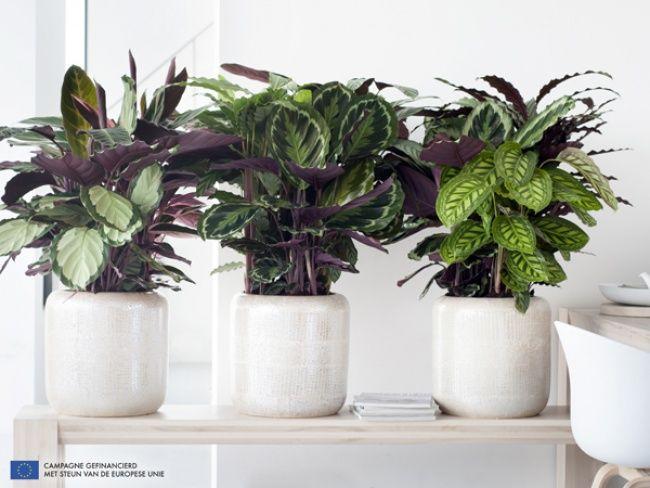 Calathea is Woonplant van de maand september 2014 -mooiwatplantendoen.nl