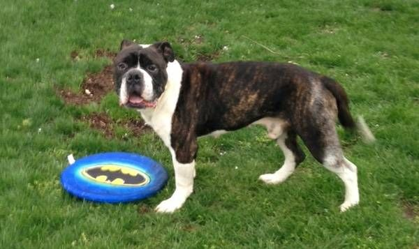 Found Levittown. Ny American bull, Dogs, Blue, white