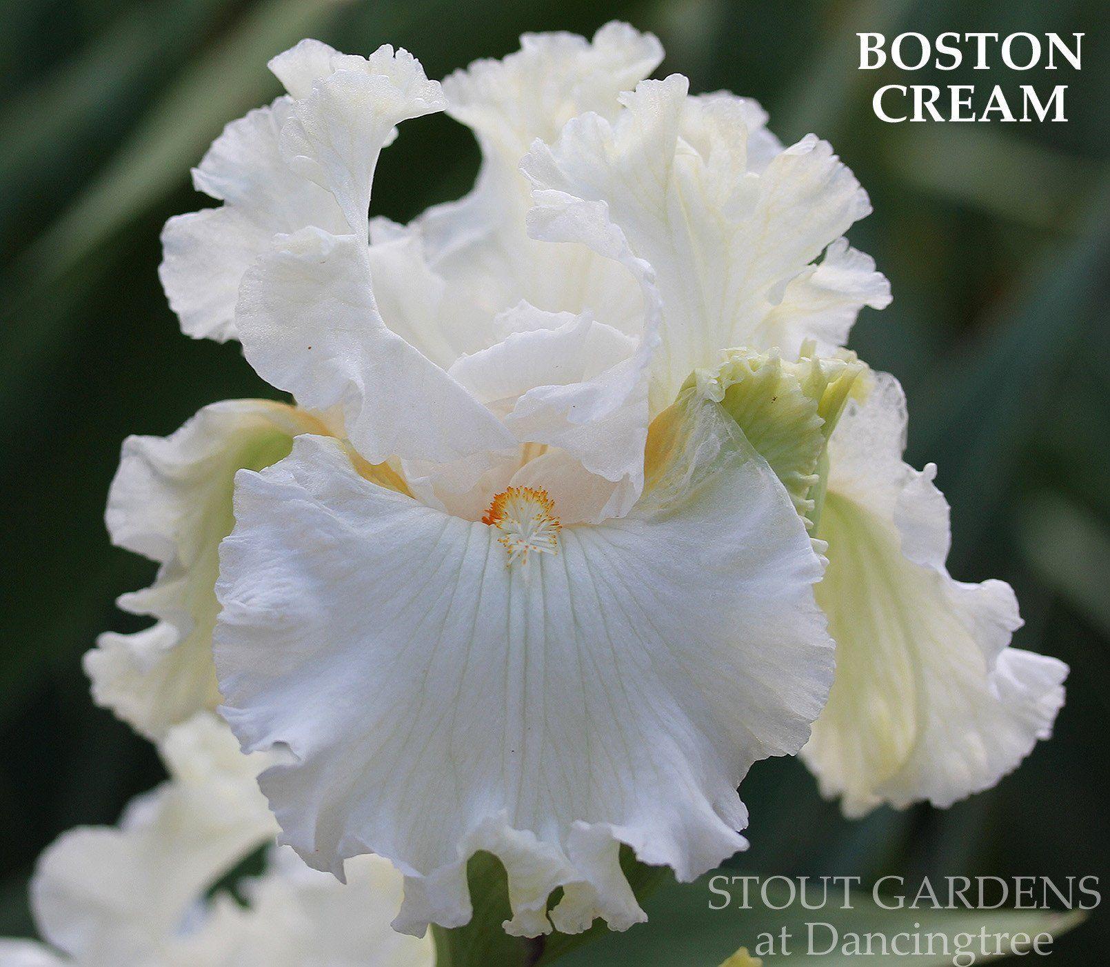 Stout gardens at dancingtree iris boston cream for the garden