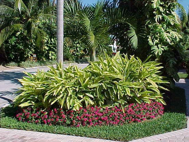 Variegated ginger provides beautiful contrast color for landscape designs my unique garden - Front garden ideas tropical ...
