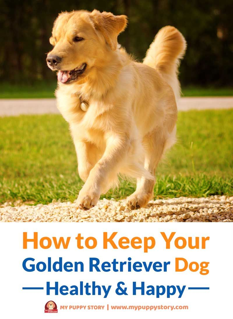 How To Keep Your Golden Retriever Dog Healthy Happy Golden
