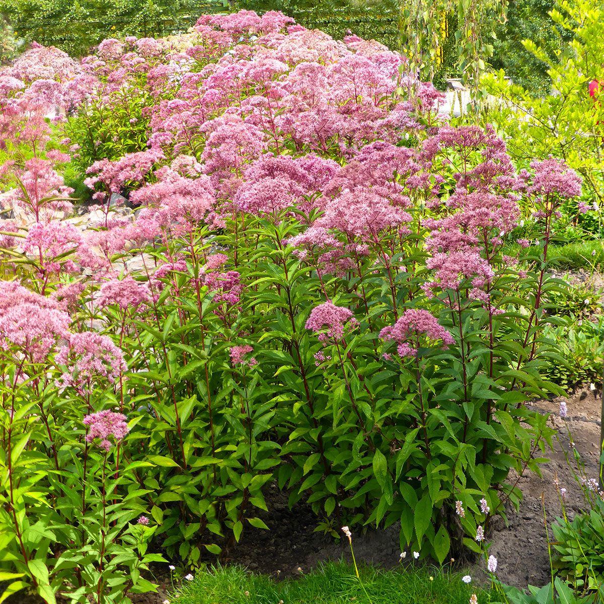 riesen wasserdost 2 pflanzen b ume pinterest garten pflanzen und moos pflanzen. Black Bedroom Furniture Sets. Home Design Ideas