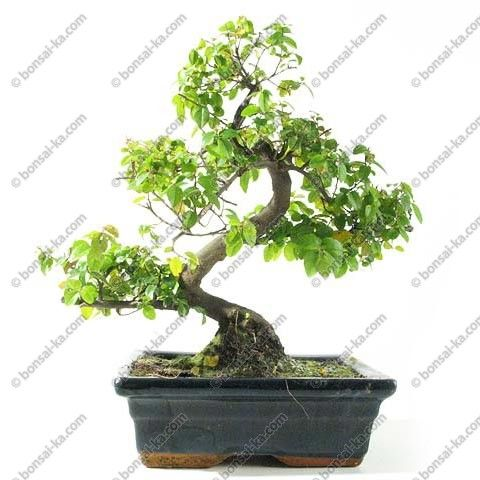 Arbre a thé sageretia theezans bonsaï d\'intérieur 30 cm 8 ans ...