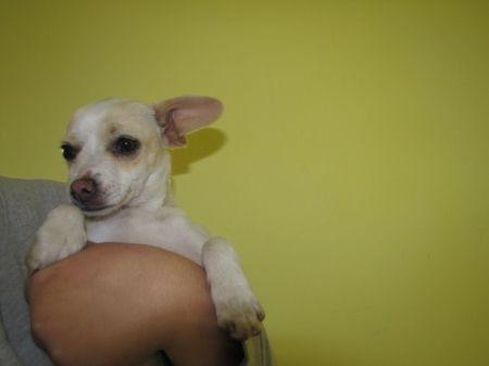 Yay Touchdown Dog Wallpaper Chihuahua Wallpaper