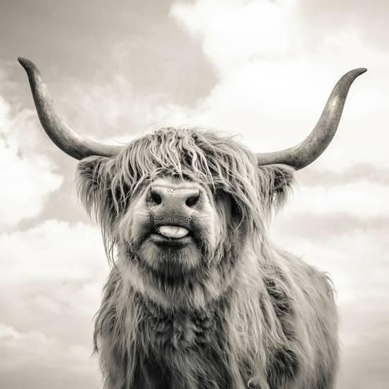 Close up portrait of Scottish Highland cattle on a