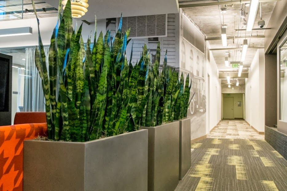oversized potted snake plants for living room idea   planters   Room with plants, Office plants, Indoor plants