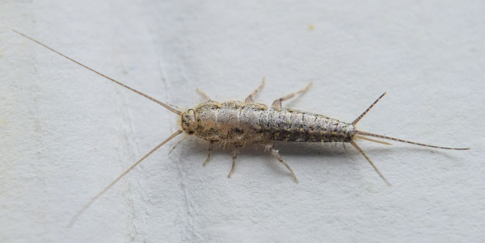 5 Ways To Get Rid Of Silverfish In 2020 Silverfish Get Rid Of Silverfish Humming Bird Feeders