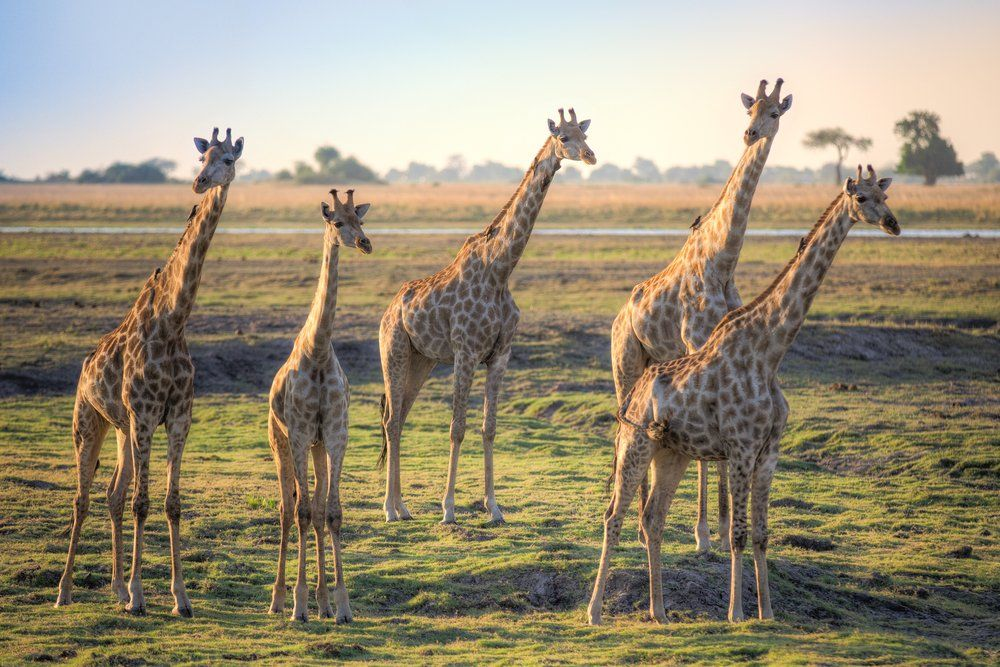 """Discover Magazine on Twitter: """"Sequencing the giraffe genome sheds light on how their amazing necks evolved. https://t.co/AFZ65JD0K4 https://t.co/ddhdzCsfvz"""""""