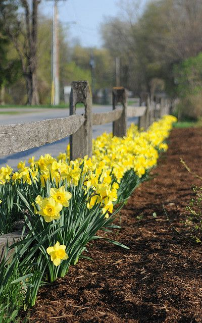 Daffodils Spring Flowering Bulbs Bulb Flowers Spring Bulbs