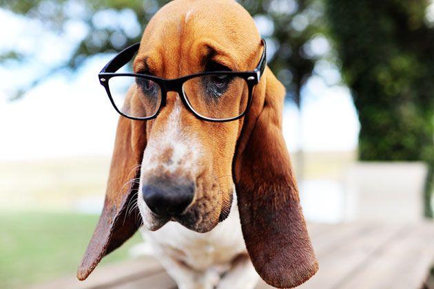Nerd Glasses On The Dog Bassett Hound Hound Dog Dogs