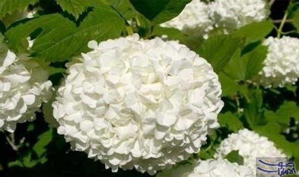 فوائد زهرة البيلسان لجسم الإنسان Viburnum Opulus Viburnum Plants
