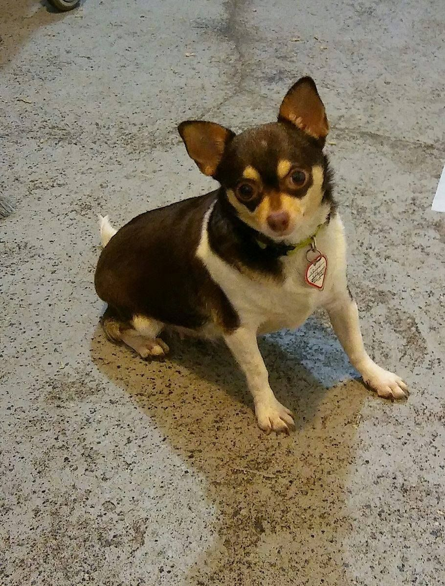 Chihuahua Dog For Adoption In Mukwonago Wi Adn 494501 On