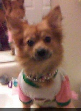 Lost Dog Chihuahua Long Haired Tampa Fl United States 33617