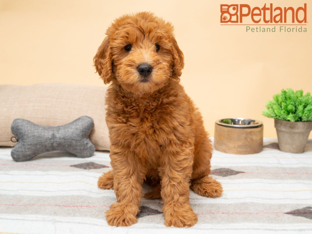 Puppies For Sale Goldendoodle puppy for sale, Mini