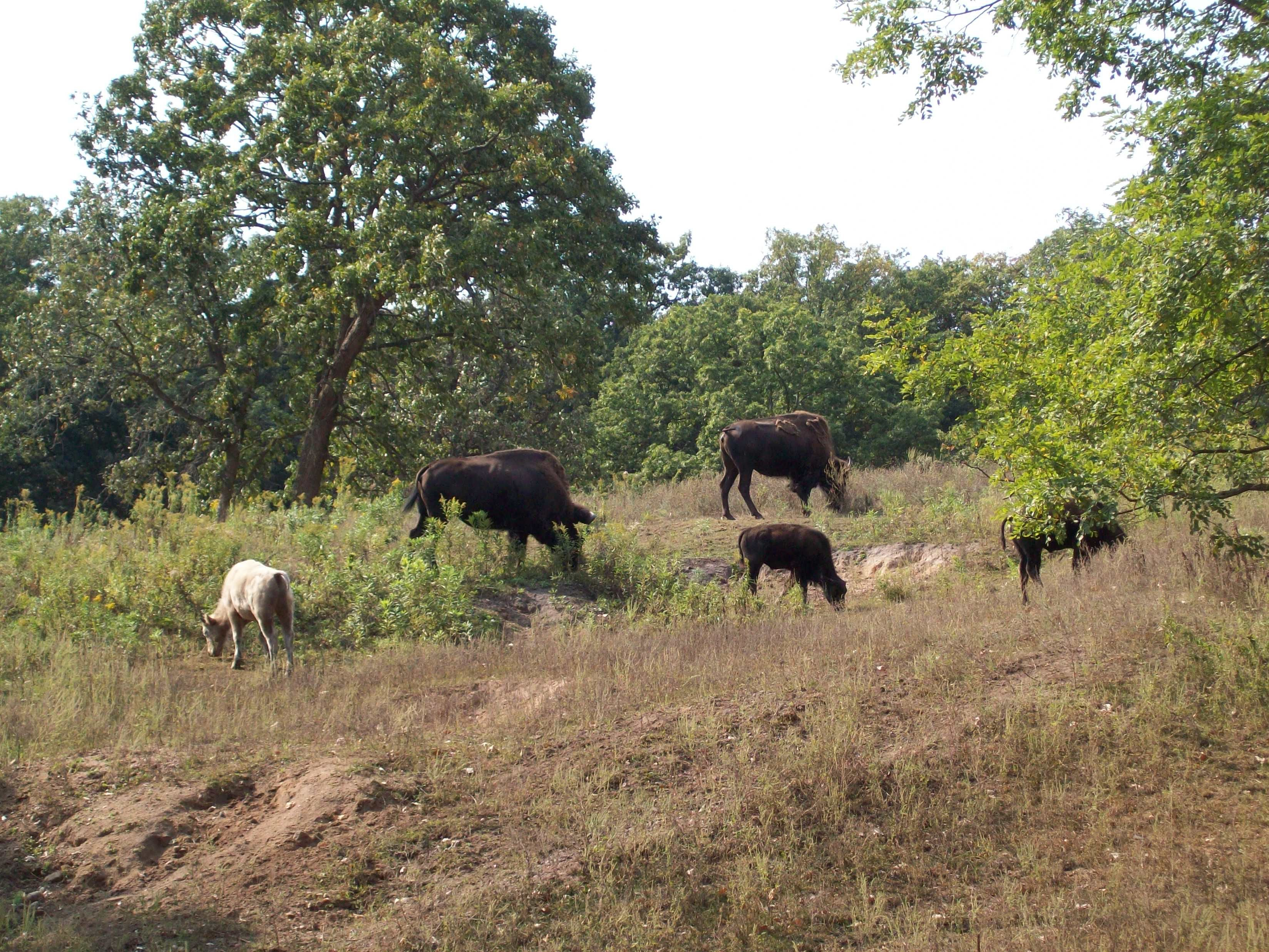 Bison at irvine park irvine park lake girl chippewa falls