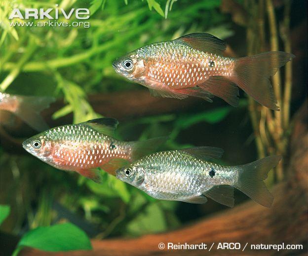 Rosy Barb Photo Puntius Conchonius G112043 Arkive Freshwater Aquarium Tropical Fish Aquarium Fish