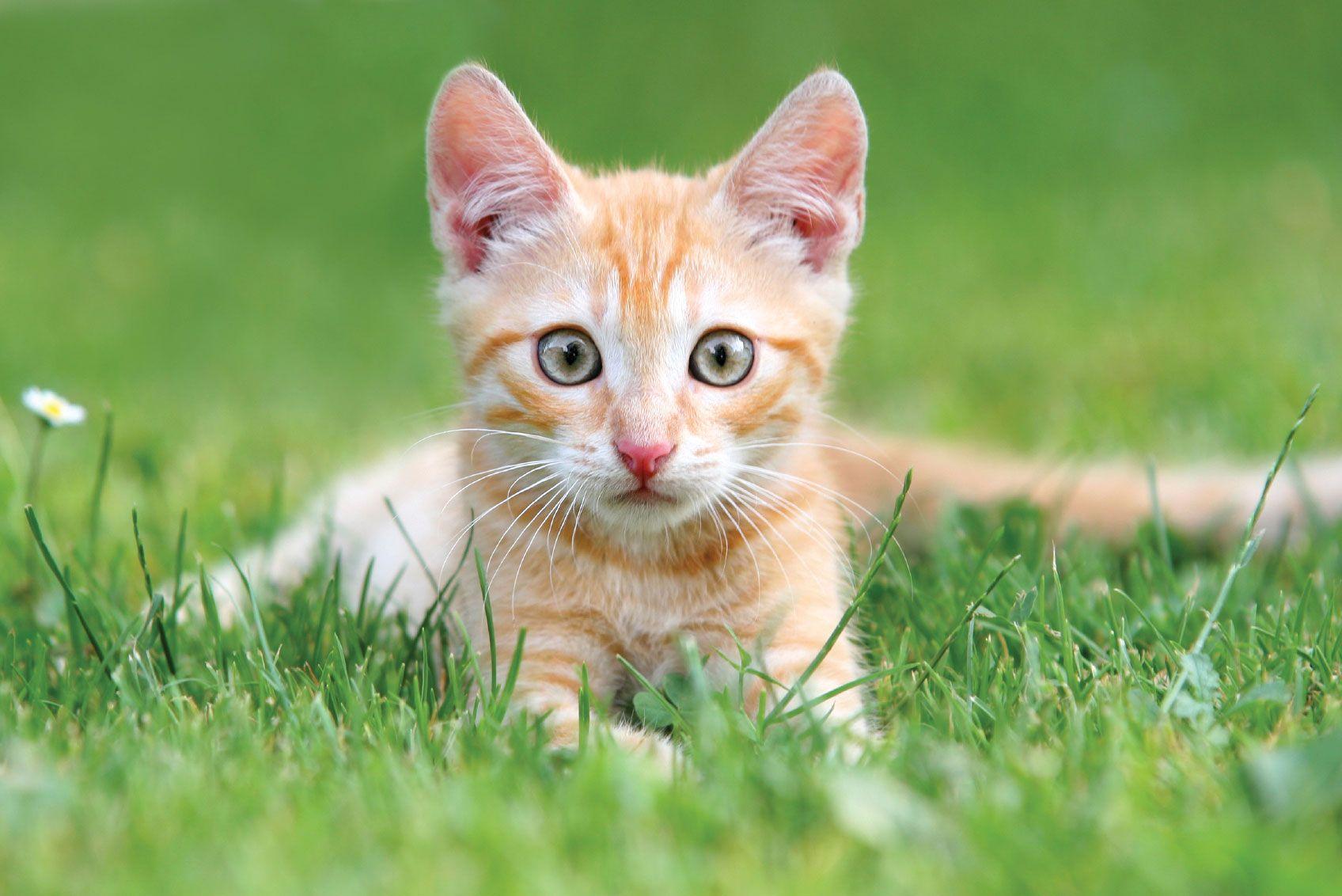 10 Reasons To Adopt A Cat Houston Pettalk Cat Neutering Pet Kitten Orange Kittens