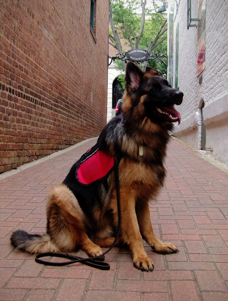 Long Hair German Shepherd Odin Panjo V Ljulin My Service Dog Wonderlustpup Service Dogs Dog Movies German Shepherd