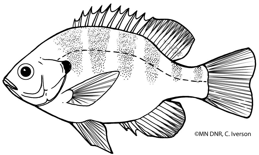 Bluegill Outline With Images Art Reference Art Image