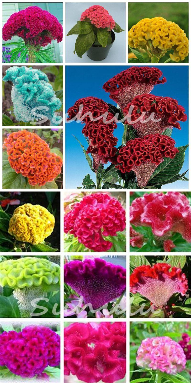 Visit To Buy Hot Sale 120 Pcs Bonsai Flower Cockscomb Seedcelosia