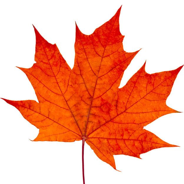 Can You Tell The Difference Between A Maple Leaf And A Pot Leaf