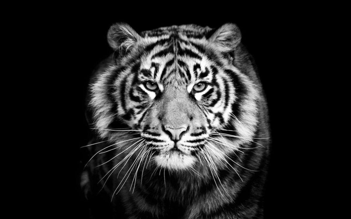 Tigre Tigre Photographie Tigre Blanc Royal Et Photo Tigre