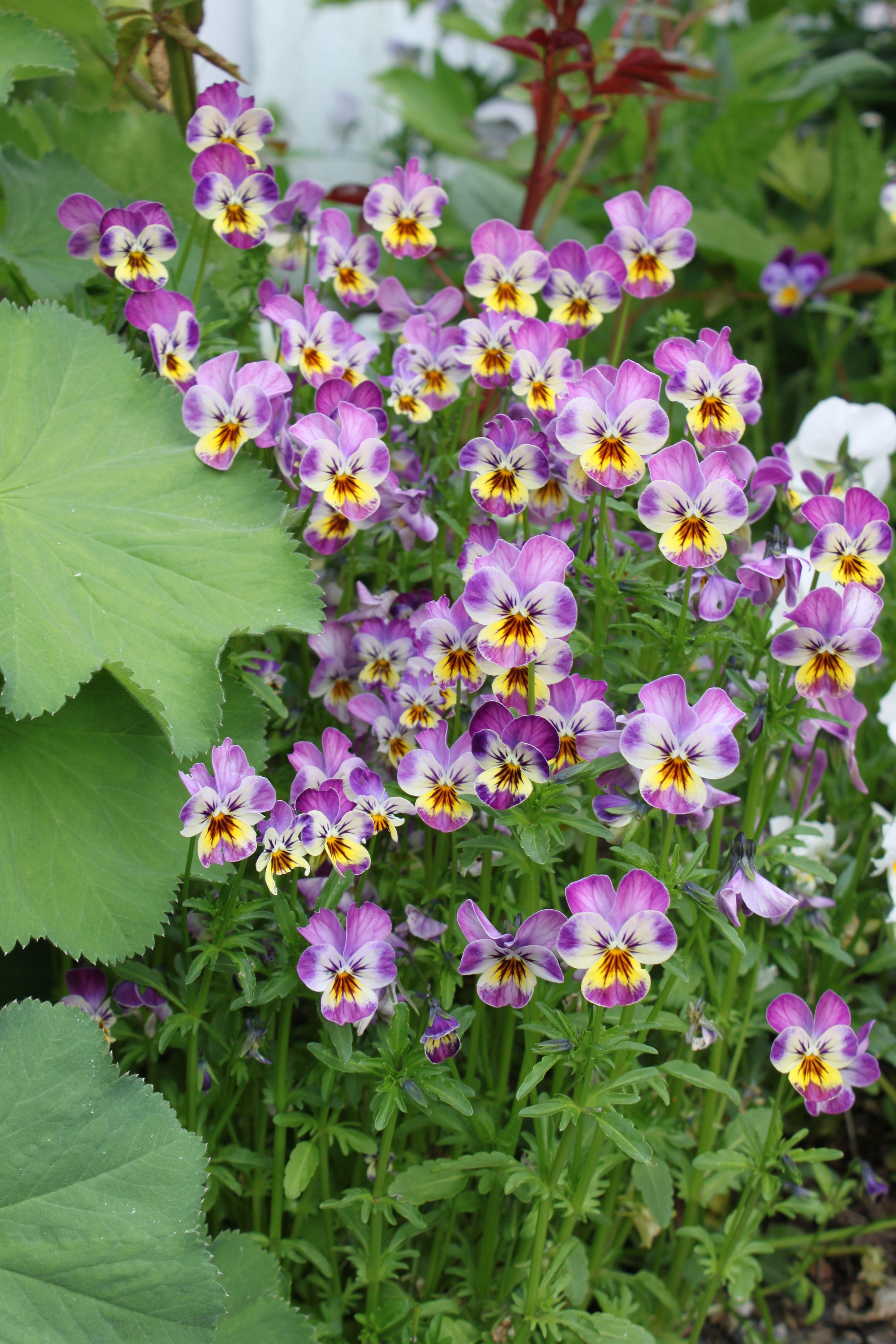 Fishtail cottage pansies flowers garden flower beds