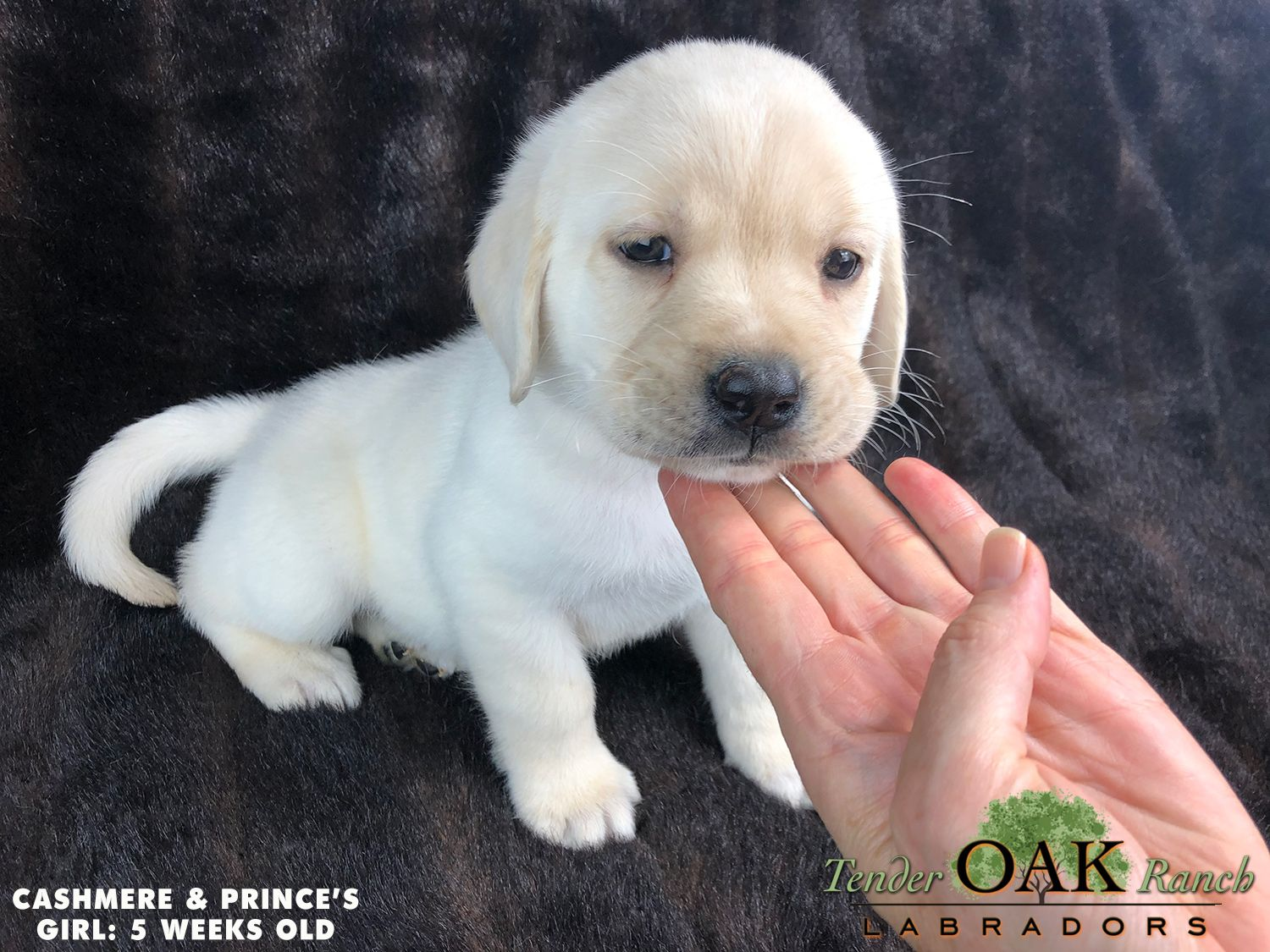 Labrador Puppies For Sale In San Diego Labrador Puppies For Sale Labrador Puppy Labrador Retriever Puppies
