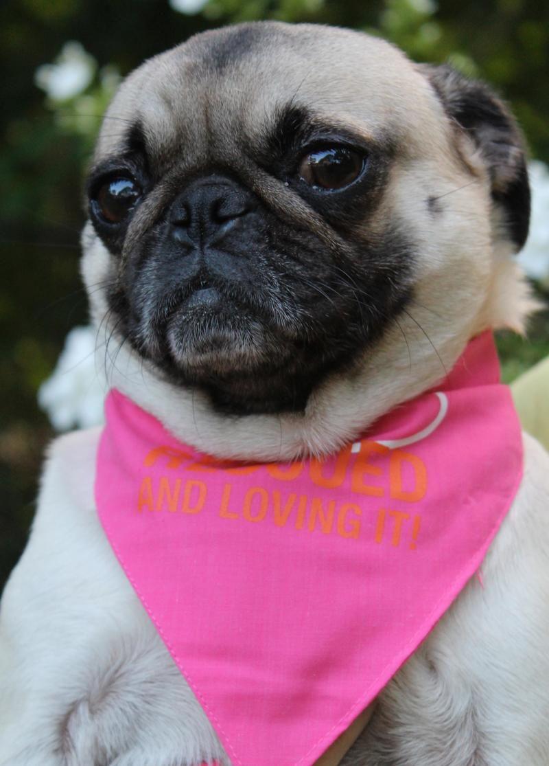 Adopt Zoey On Pugs Pug Love Small Pug