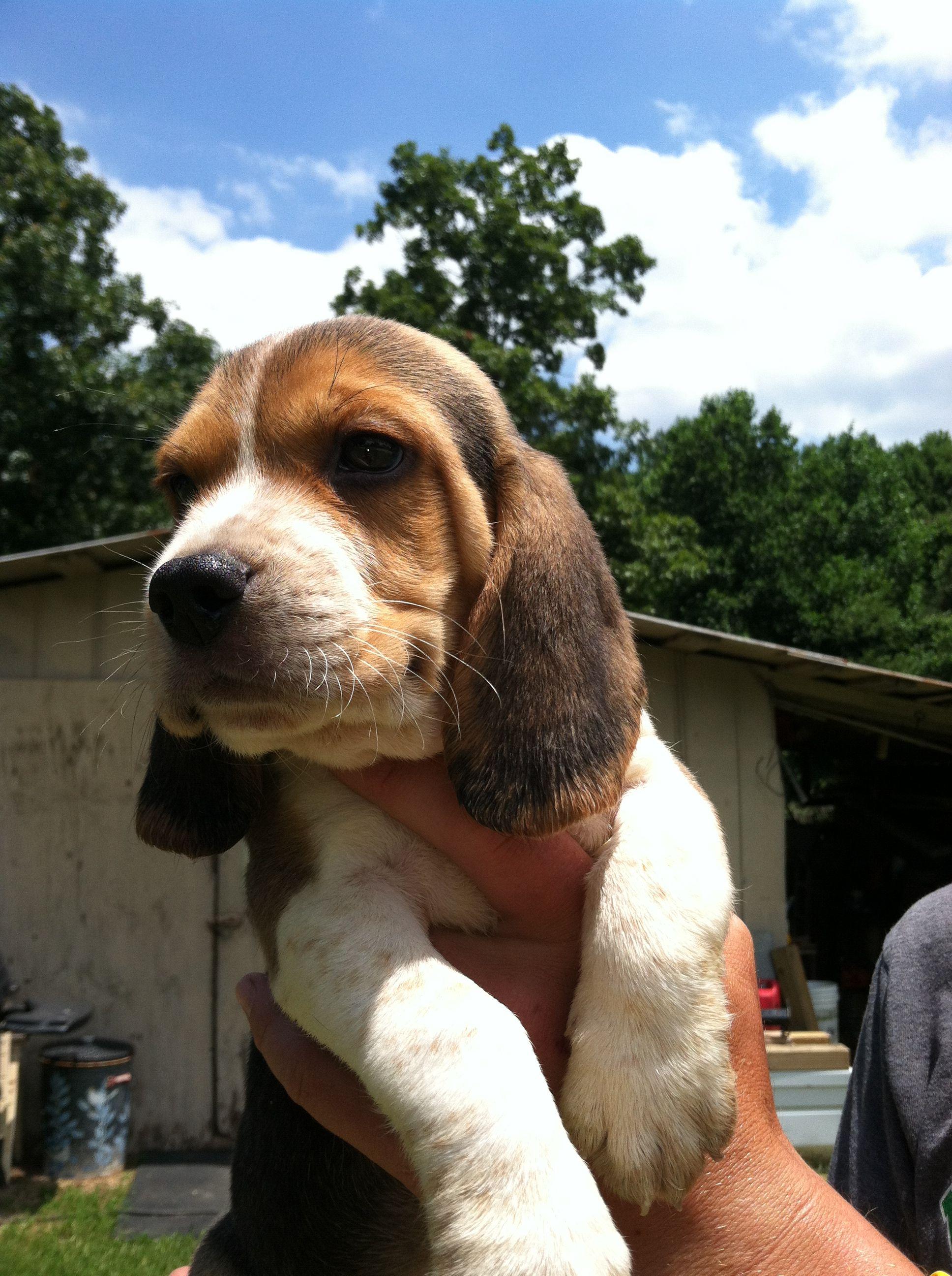 Beagle Puppies Beagle Puppy Beagle Beagle Dog
