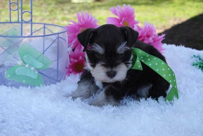 Toy Miniature Schnauzers Toy Teacup And Miniature Schnauzer Puppies For Sale Oklahoma Schnauzer Puppy Miniature Schnauzer Puppies Puppies