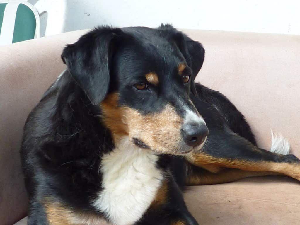 Appenzeller Sennenhund Greater swiss mountain dog