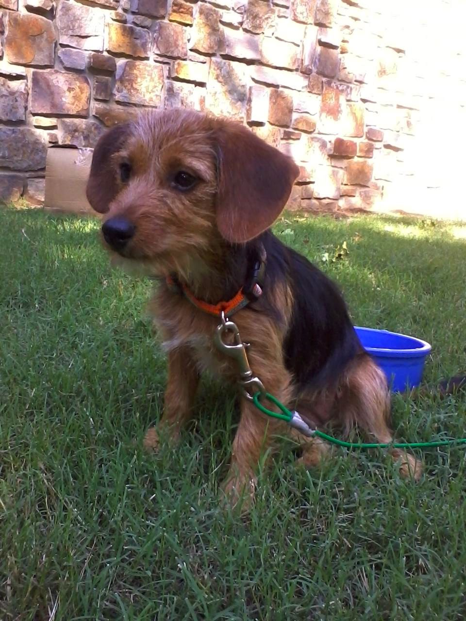My Dorkie puppy! Dachshund + Yorkie = Dorkie