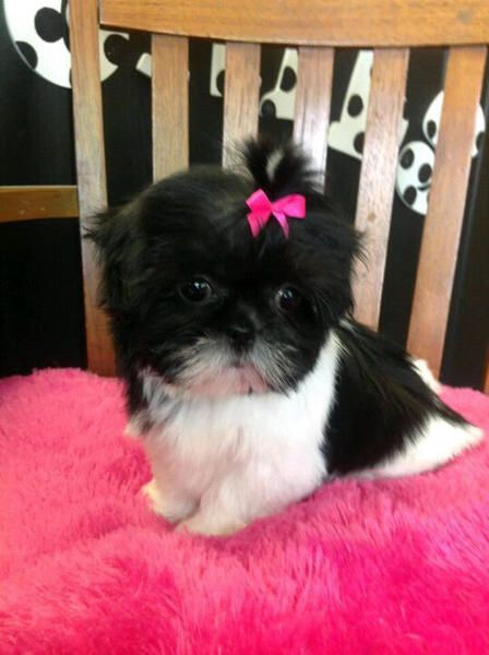 Shih Tzu Adorable !