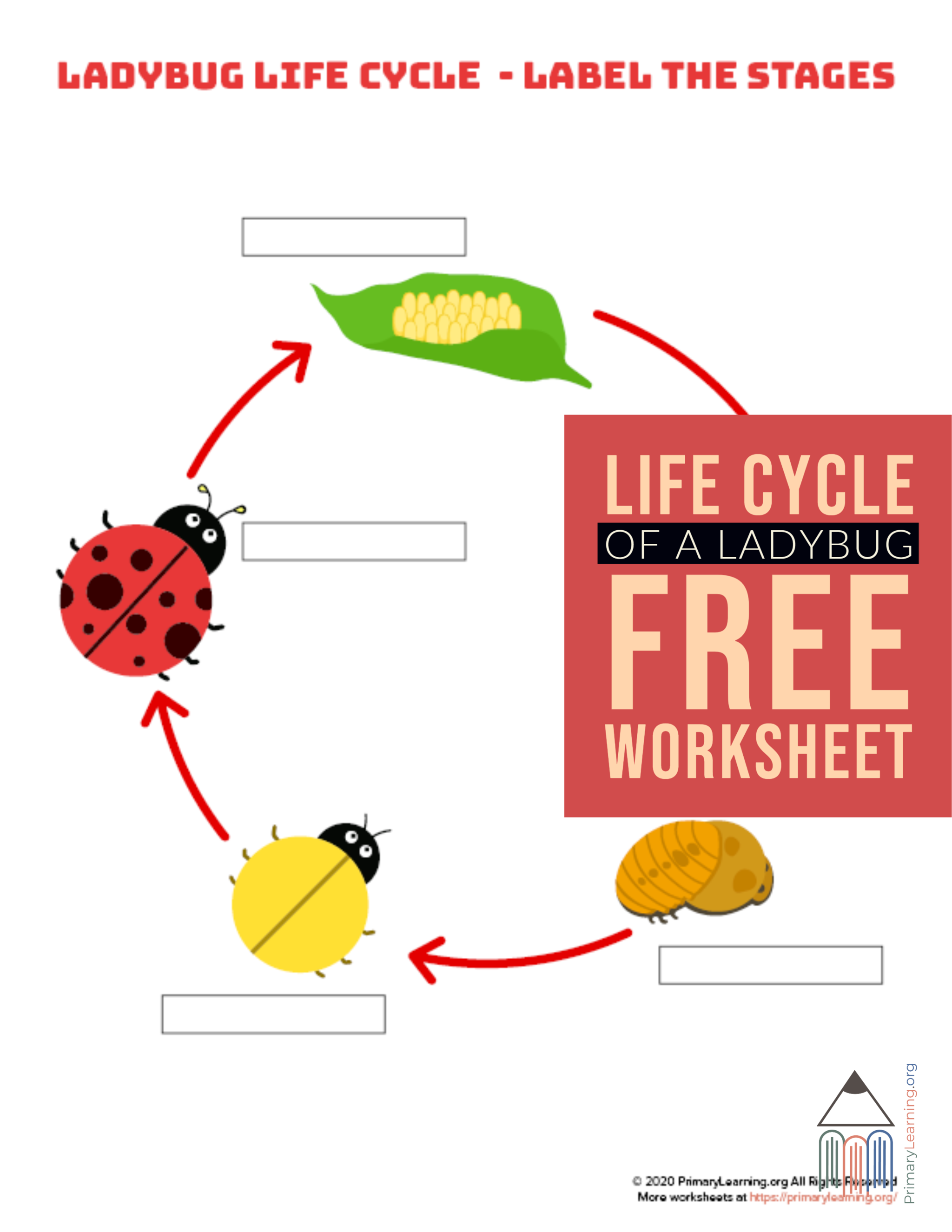 Students Use This Worksheet To Label The Stage Of Ladybug
