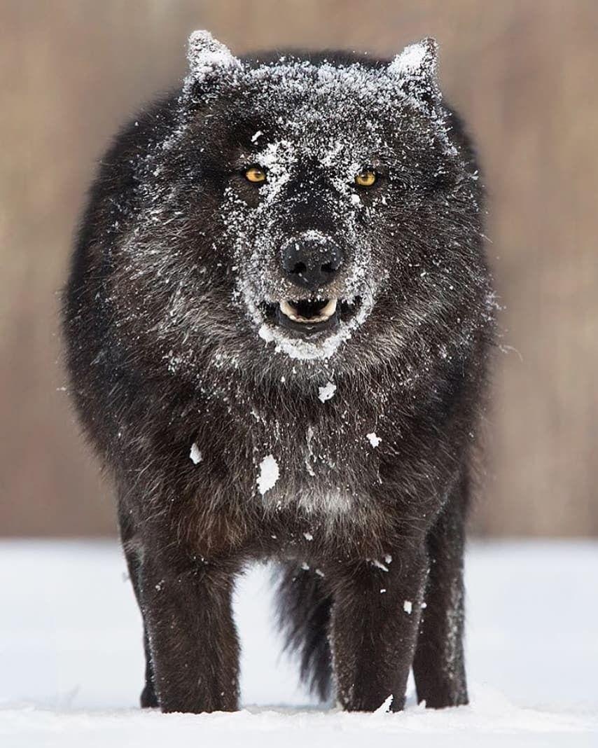 черные волки картинки фото как