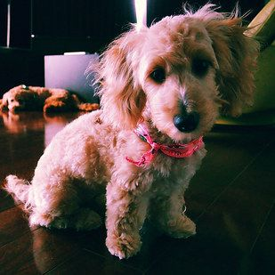 Dachshund Poodle Dachshupoo Hybrid Dogs Mixed Breed Dogs Dog Breeds