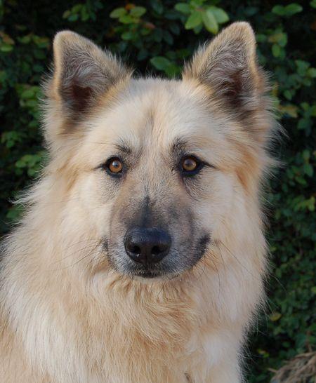 Westside German Shepherd Rescue Of Los Angeles Gsd Dog Shepherd Dog Breeds Long Haired German Shepherd