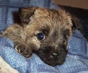 Kansas Dog Breeder Championship Cairn Terrier Breeder Cairn