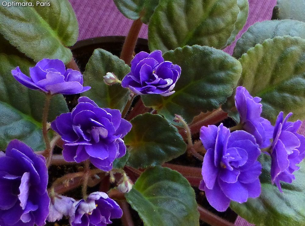"Optimara - Paris (6"" large African Violet)"