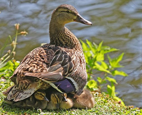Mother duck with offspring