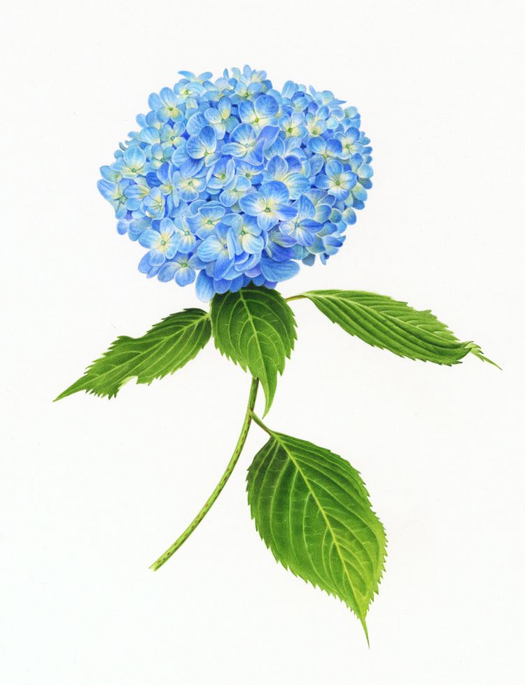 Blue Hydrangea Hydrangea Painting Flower Drawing Botanical Painting