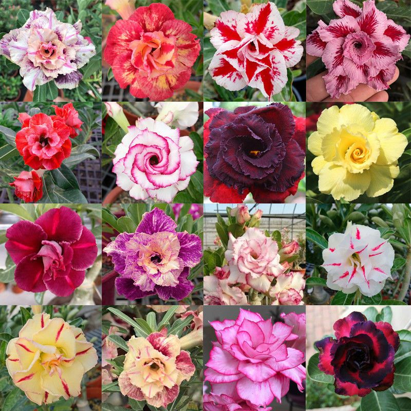 Adenium Obesum Also Known As The Desert Rose Is A Multi Trunked Shrub Like Tree With A Large Wide Base Native To Adenium Pink And White Flowers Desert Rose