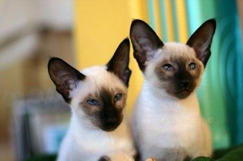 8 Types Of Siamese Cats Lovetoknow Siamese Cats Siamese Cats Blue Point Siamese Kittens