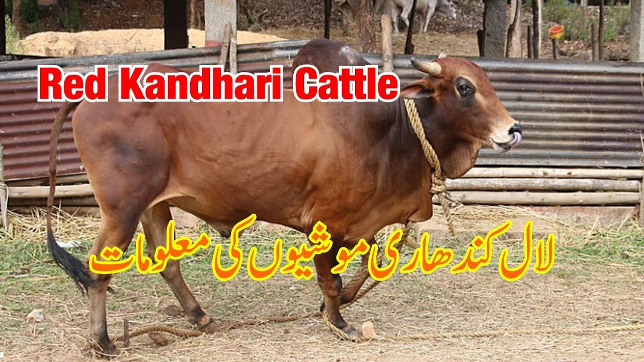 Pin on All Cow Breed info in Urdu (Pure Farming Tips)