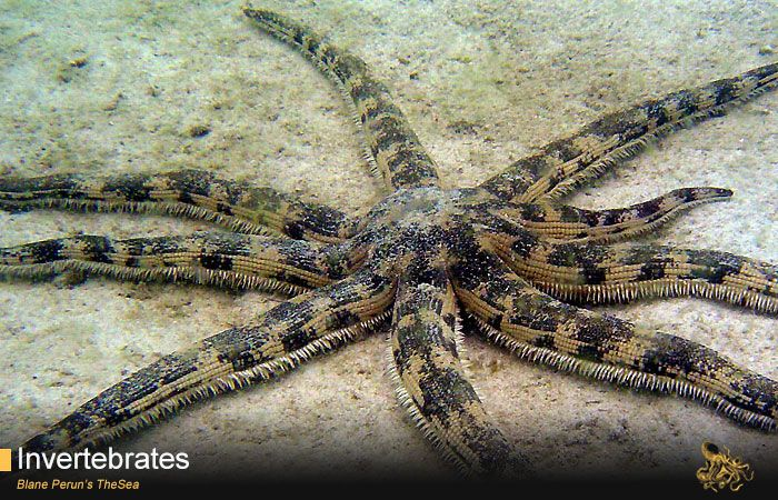 Sand Sifting Starfish Https Www Withinthesea Com Invertebrates Echinoderms Starfish Sand Sifting Starfish Invertebrates Sand Starfish
