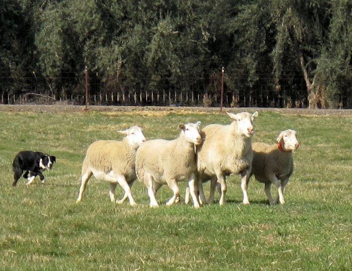 Sheep Herding Lessons Sheepdog Herding Lessons Herding Lessons