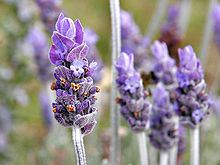 Lavender - Wikipedia, the free encyclopedia